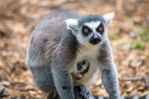 Baby Lemur born at Houston Zoo with mom Cairrean.