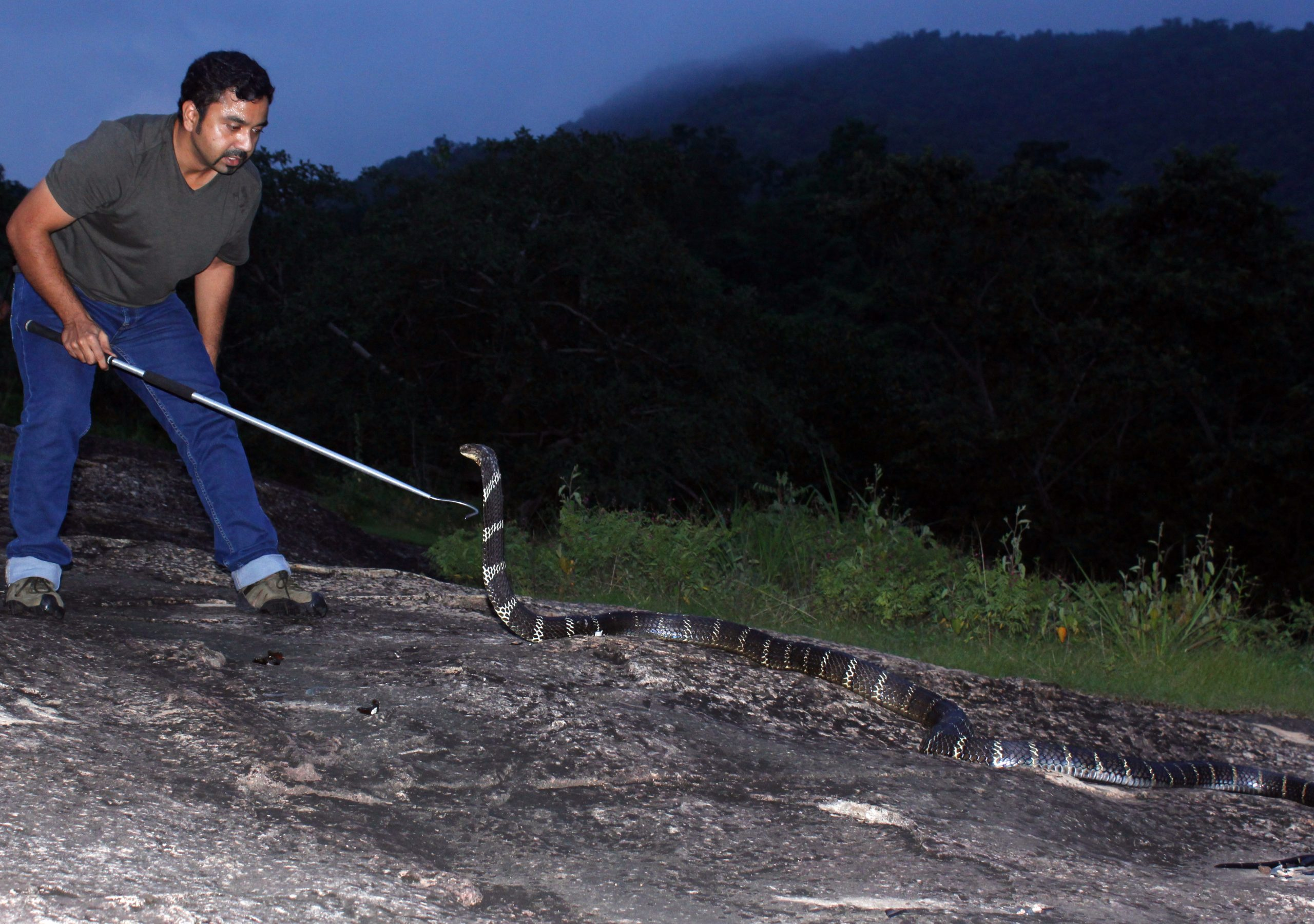 Saving King Cobras in Southern India
