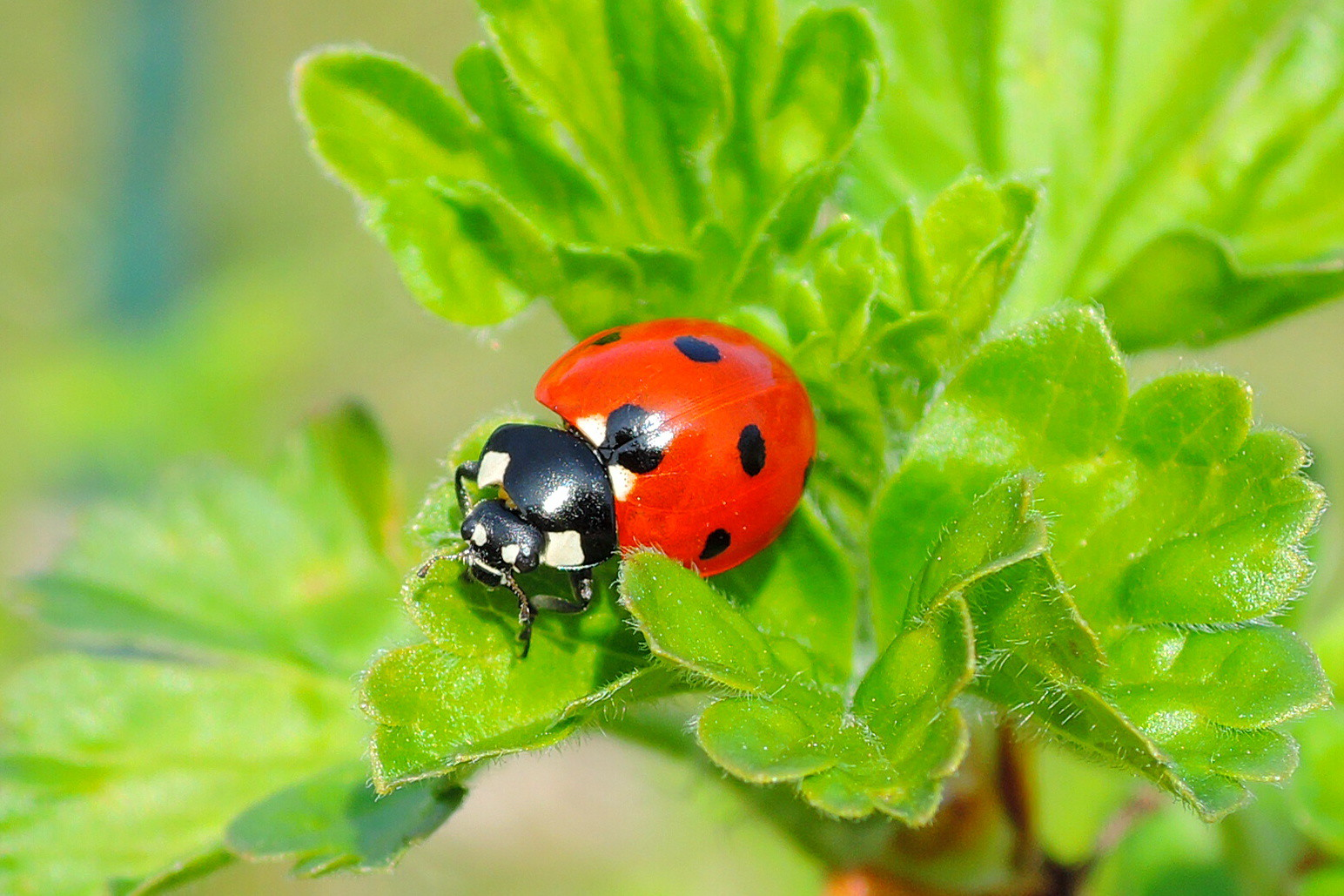 THE HISTORY OF THE LADYBUG