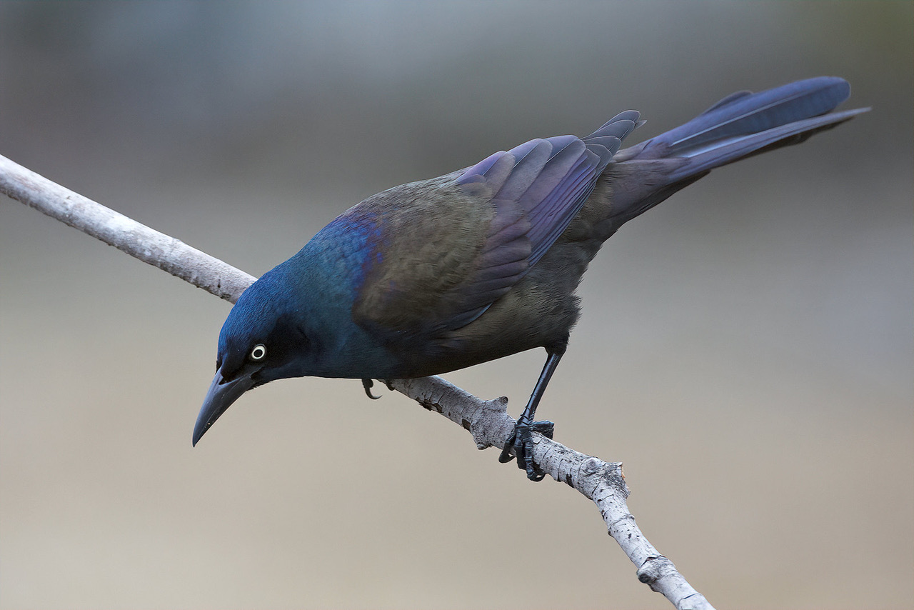 GRACKLES: They'll Eat Anything