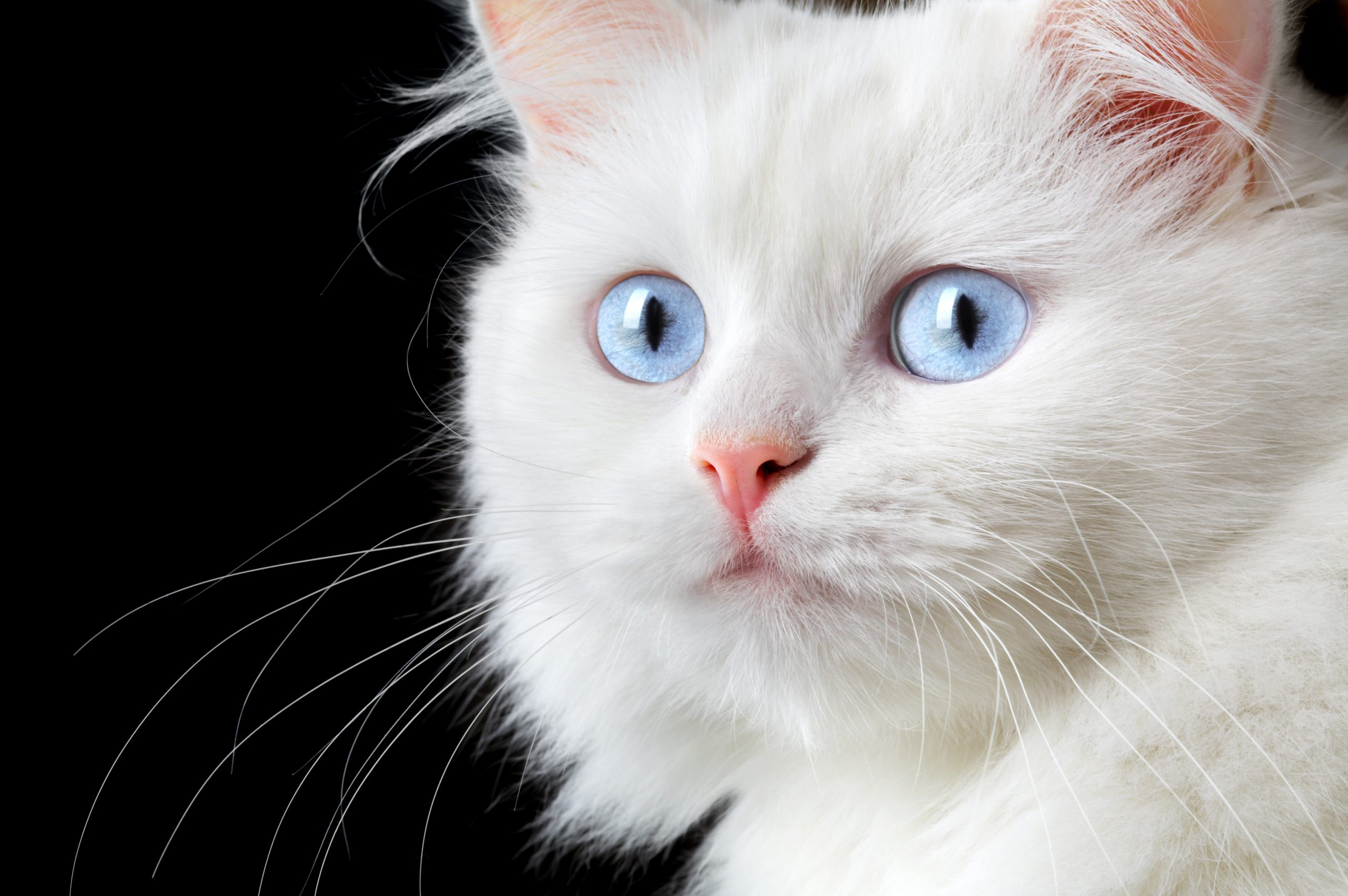 Feline Fears & Anxieties