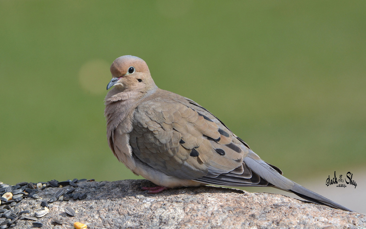 The Mourning Doves A Native to Texas