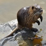 THE INVADERS – NUTRIA