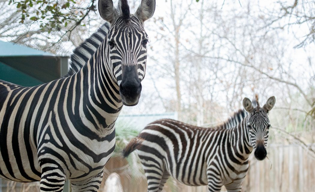 Two Zebras Added to Houston zoo