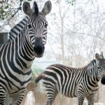 Two Zebras Added to Houston zoo