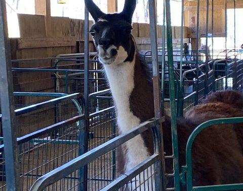 Llama and alpaca training blog day 1