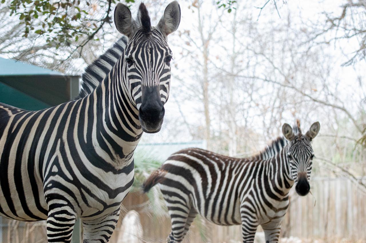 Zebras At The Houston Zoo
