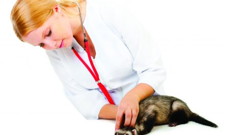 Taking Care Of A Ferret