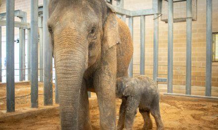 Baby Elephant Born at Houston Zoo