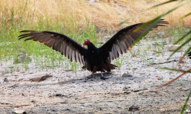Vultures Are The Sanitation Crew